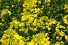 Zied rapšu lauki Ozolaines pagastā_10