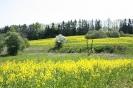 Zied rapšu lauki Ozolaines pagastā_3