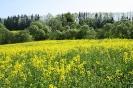 Zied rapšu lauki Ozolaines pagastā_6