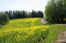 Zied rapšu lauki Ozolaines pagastā_7