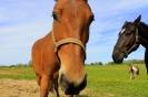 Zirgi Bekšos_4
